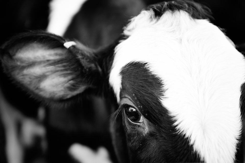 Raw-milk-header-image